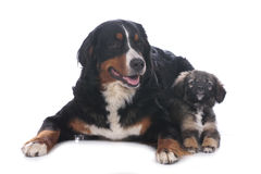 Bernese mountain dog and mixed breed puppy Stock Image