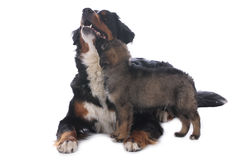 Bernese mountain dog and mixed breed puppy Stock Images