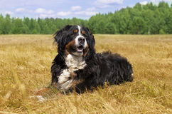 Bernese Mountain Dog outdoors Stock Image