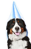 Bernese mountain dog in party cone Royalty Free Stock Photos