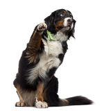 Bernese Mountain Dog pawing up, isolated on white Royalty Free Stock Photo