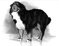 Bernese Mountain Dog, Pencil Drawing. Freehand pencil drawing of a Bernese Mountain dog Stock Photography