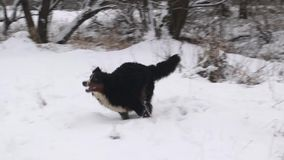Bernese Mountain Dog play near the river in forest stock video
