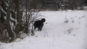 Bernese Mountain Dog play near the river in forest stock video footage