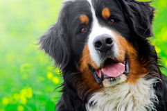 Bernese Mountain Dog portrait Royalty Free Stock Image