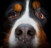 Bernese mountain dog portrait Stock Photography