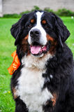 Bernese mountain dog portrait Stock Photo
