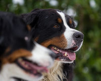 Bernese Mountain Dog Portrait Royalty Free Stock Photo