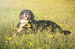 Bernese Mountain Dog portrait in flowers scenery. In a sunny spring day Stock Images
