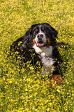 Bernese Mountain Dog portrait in flowers scenery - Vertical Stock Photography