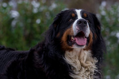Bernese Mountain Dog Portrait. Portrait of a Bernese Mountain Dog in landscape format with copy space on the left Stock Photos
