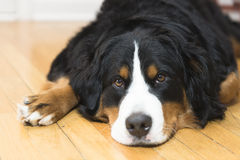 A Bernese Mountain Dog pouts. A sweet and young Bernese Mountain dog puppy poses Royalty Free Stock Images