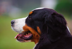 Bernese Mountain Dog profile. Head shot Stock Images
