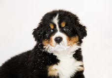 Bernese mountain dog puppet is halfly snowy Royalty Free Stock Photo