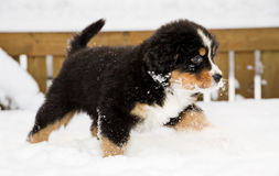 Bernese mountain dog puppet run through snow Royalty Free Stock Images