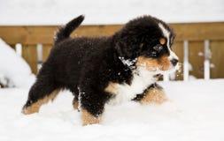 Bernese mountain dog puppet run through snow royalty free stock images