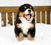 Bernese mountain dog puppet is yawing widely Stock Image