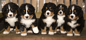 Bernese mountain dog puppets are finaly home Stock Photo