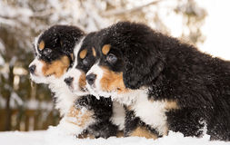 Bernese mountain dog puppets ready play game Royalty Free Stock Image