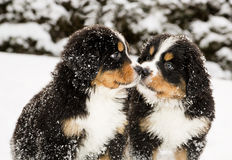 Bernese mountain dog puppets sniff each others Royalty Free Stock Photos