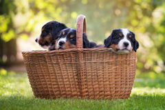 Bernese mountain dog puppies in a basket Stock Image