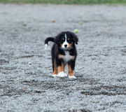 Bernese Mountain dog puppy. A Bernese Mountain dog puppy stock photography