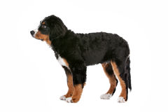 Bernese Mountain Dog puppy Royalty Free Stock Photo