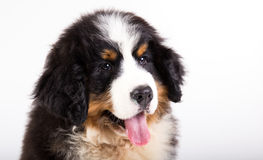 Bernese mountain dog puppy. Close up Portrait of a bernese mountain dog puppy Royalty Free Stock Images