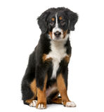 Bernese Mountain Dog puppy in front of a white ba Stock Image