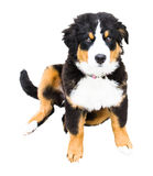 Bernese Mountain Dog puppy full body and awkward!. A Bernese Mountain dog enjoys puppyhood Stock Photography