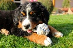 Bernese mountain dog puppy Stock Photos
