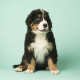 Bernese Mountain Dog puppy on green background Stock Images