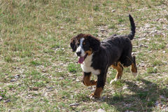 Bernese Mountain Dog puppy Stock Photos