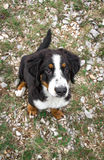 Bernese Mountain Dog puppy Stock Image