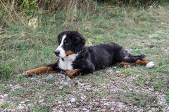 Bernese Mountain Dog puppy Royalty Free Stock Photos
