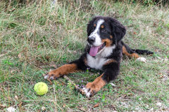 Bernese Mountain Dog puppy Stock Photography