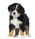 Bernese Mountain Dog Puppy, 2 months old, standing Stock Photo