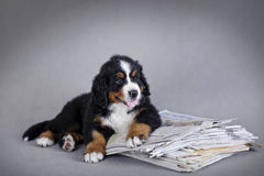 Bernese Mountain Dog puppy Royalty Free Stock Image