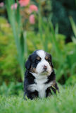 Bernese Mountain Dog puppy portrait Stock Image