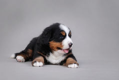 Bernese Mountain Dog puppy portrait Stock Photo