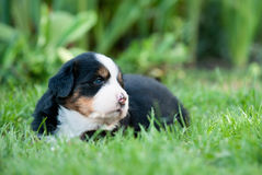 Bernese mountain dog puppy portrait Royalty Free Stock Photo