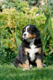 Bernese Mountain Dog puppy  portrait Royalty Free Stock Image