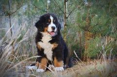 Bernese Mountain Dog puppy portrait Stock Photo