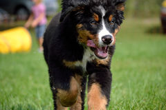 Bernese Mountain Dog Puppy running Royalty Free Stock Photo