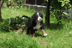 Bernese Mountain Dog puppy in the garden Royalty Free Stock Image
