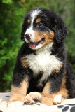 Bernese Mountain Dog puppy sitting Royalty Free Stock Photo