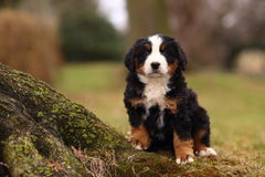 Bernese Mountain Dog Puppy Sitting by Exposed Moss Covered Tree Root. A beautiful, alert Bernese Mountain Dog puppy sits by an old tree covered in moss. Bernese Royalty Free Stock Image