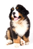 Bernese mountain dog puppy. Sitting in front of White Background Stock Image