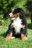 Bernese Mountain Dog puppy sitting on the grass Royalty Free Stock Photos