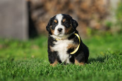 Bernese mountain dog puppy sitting outdoors Royalty Free Stock Image